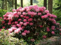 Rhododendron im RHodopark Gristede der Baumschule Bruns