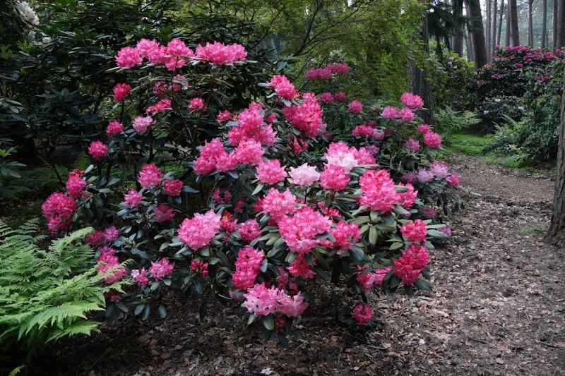 Rhododendron im Bruns Rhodopark